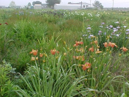 2001 cpg irises 2
