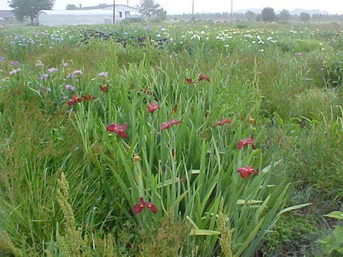 2001 cpg irises1