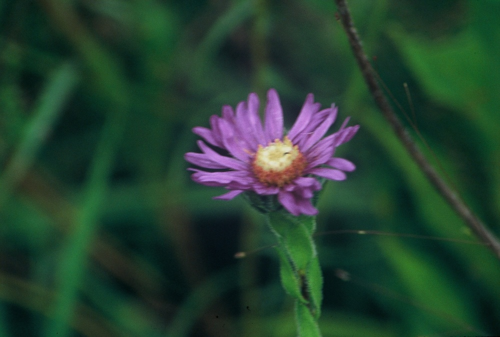 aster concolor
